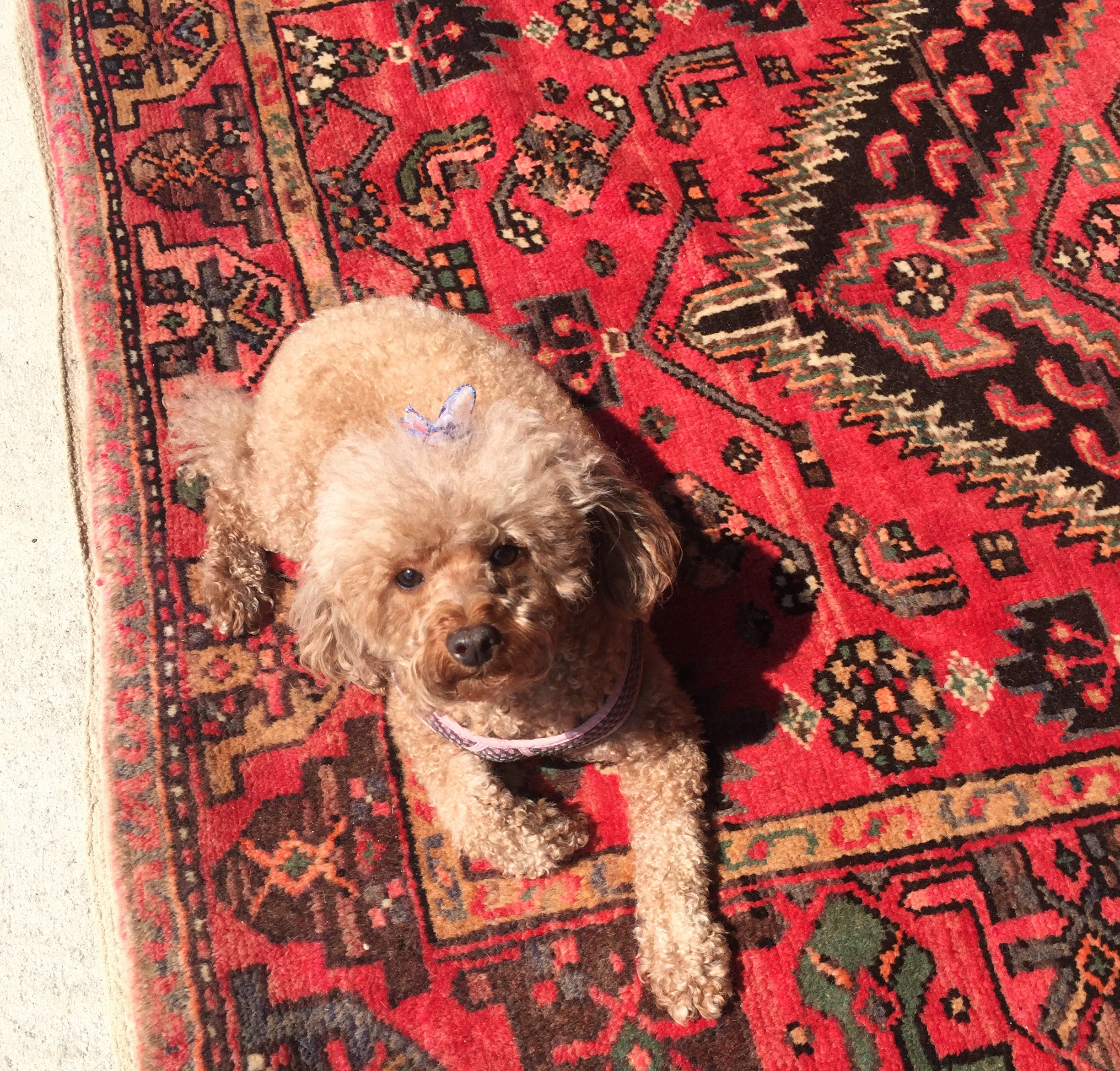 Dog Urine Oriental Rug: Pet Stain Removal For Area Rugs